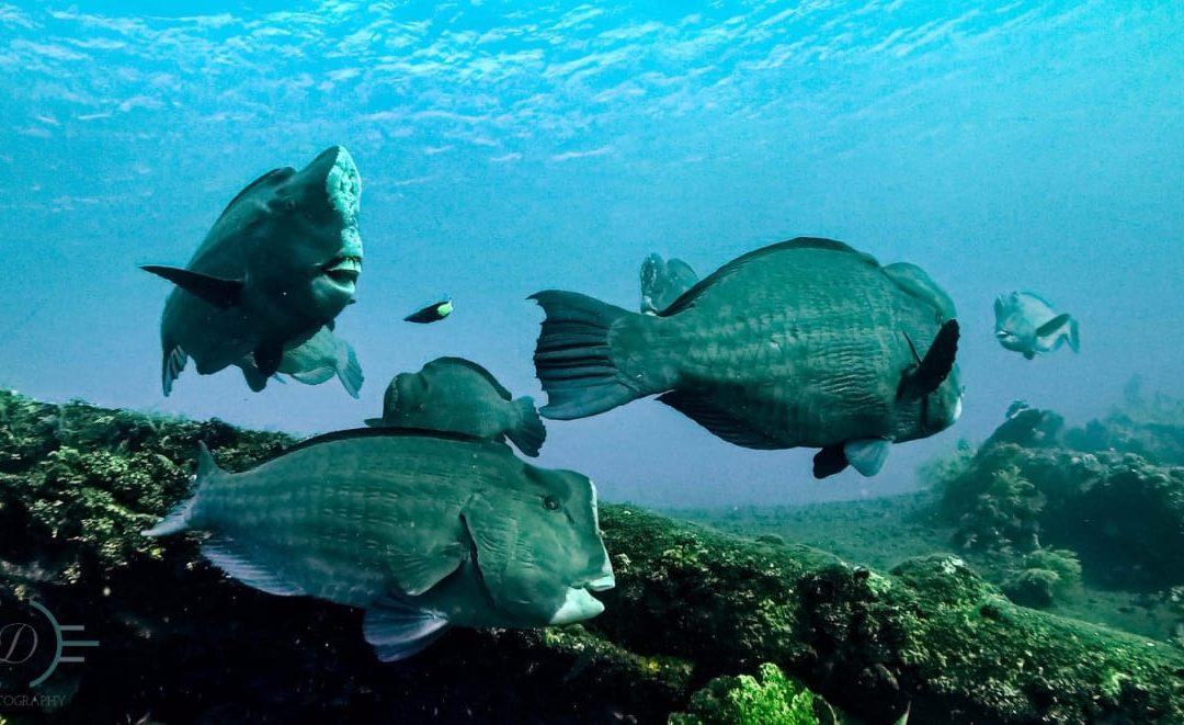 Les poissons perroquets à bosse de l'USAT Liberty Wreck
