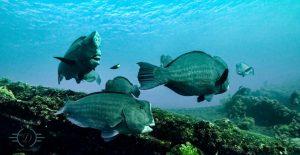 Des poissons perroquets à bosse de l'épave du Liberty