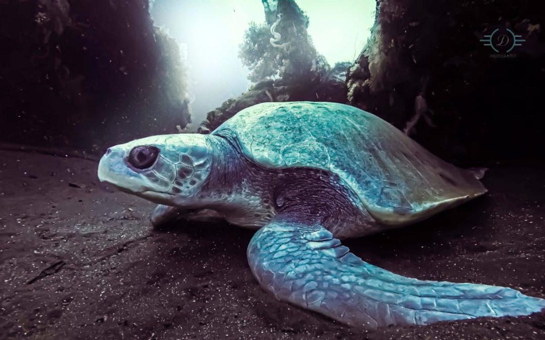 Le mystère de la tortue à dos plat à Bali