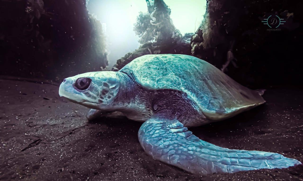 Une tortue à dos plat